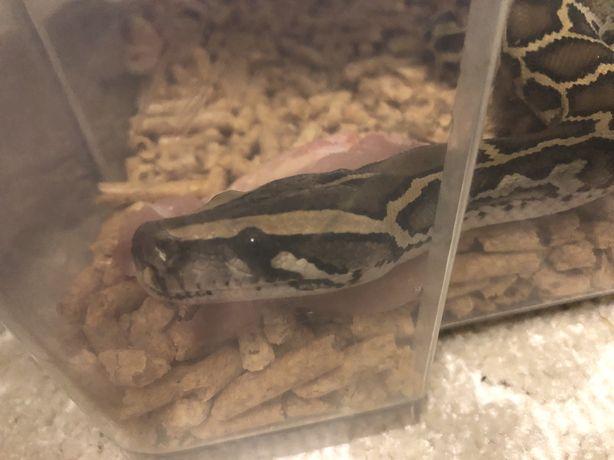 Тигровый питон, 9+ месяцев, обогревающая лампа для рептилий