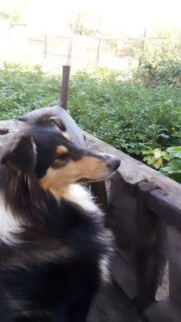 Красавец Колли ищет спутницу для вязки.
