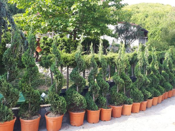 Tuia și copaci ornamentali