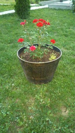 Бордюрная роза в горшках.