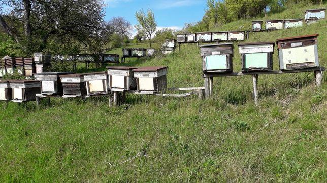Vând lazi albine