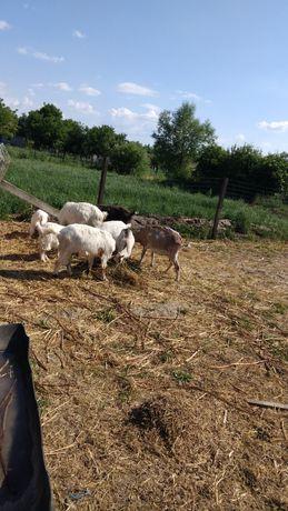 Vând 4 capre si 4 iedute.