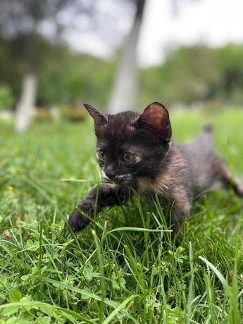 Котенок девочка, 1,5 месяца. Приучена к лотку. С доставкой Шымкент.