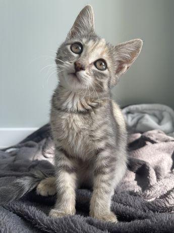 Котенок девочка Британка породистая