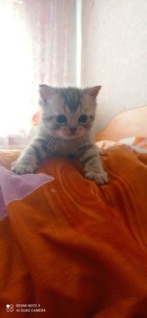 Продам котенка шотландский чистокровный