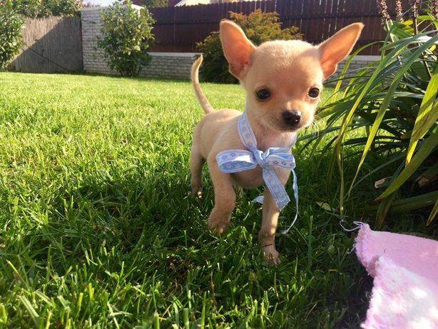 Chihuahua de culoare bej maroniu, masculi