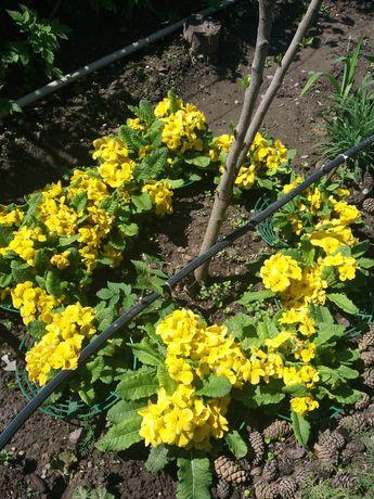 Садовые цветы примула