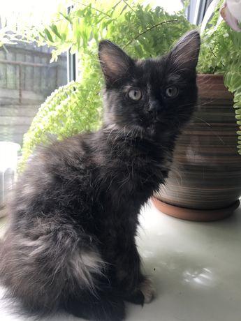 Котенок девочка, 2 месяца