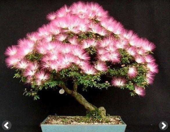 Бонсай качествени семена и екзотични растения
