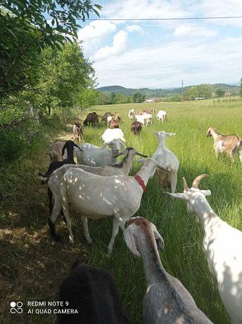 Lapte de capră sănătos
