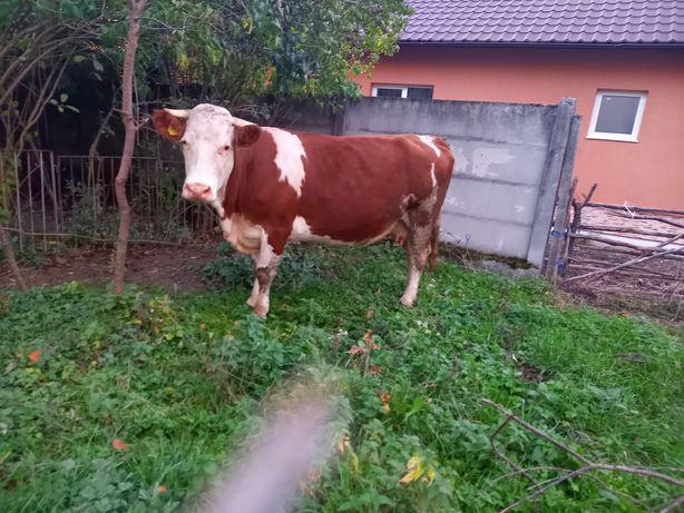 Vand o vaca frumoasa