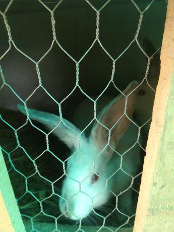 Vând iepuri născuți din primăvară