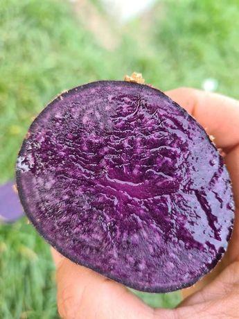 Cartofi mov Purple Majesty