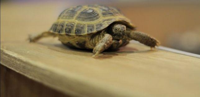 Продам 2 черепахи, каждая по 5000