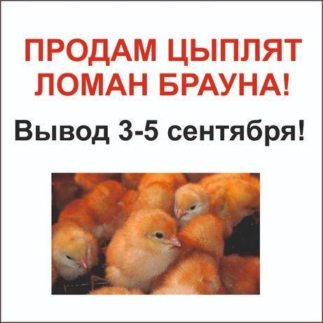 Продам цыплята Ломан Брауна