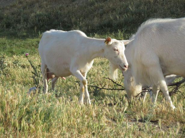 Племя Зааненских коз