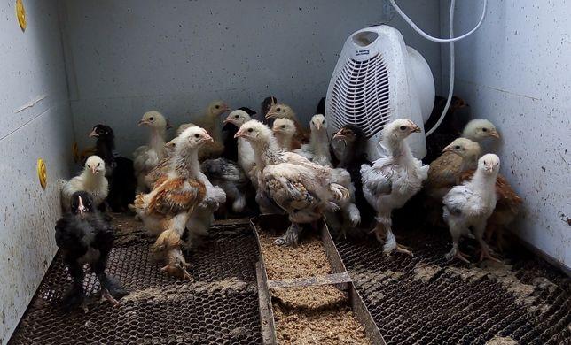 Цыплята Брама, 1 месяц