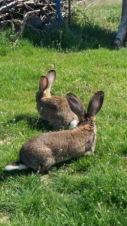 Vând iepuri urias german