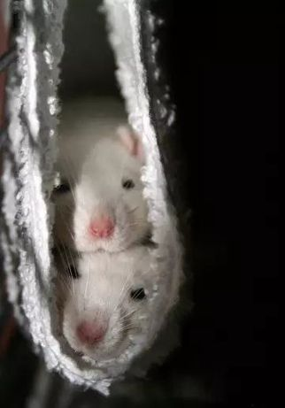 Продам крыс с клеткой
