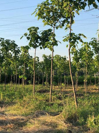 Teren cu plantație Paulownia lângă Jibou