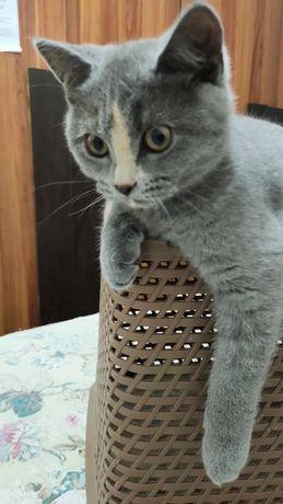 Продается британский породистые котята серый