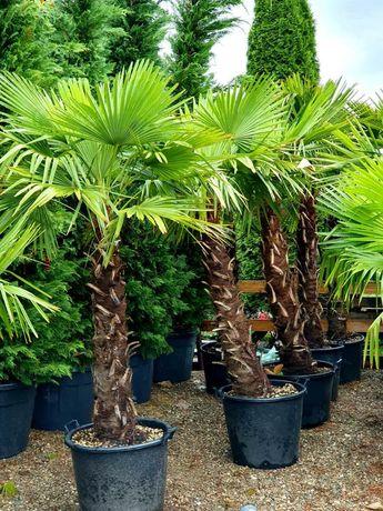 Palmieri de orice specie, cycas, trachycarpus fortunei, phoenix etc