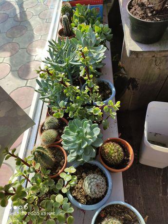 Кактусы сакуленты  пподам не дорого центр 17цбутик цветочный ряд