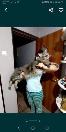 Продаю котят Майн кун