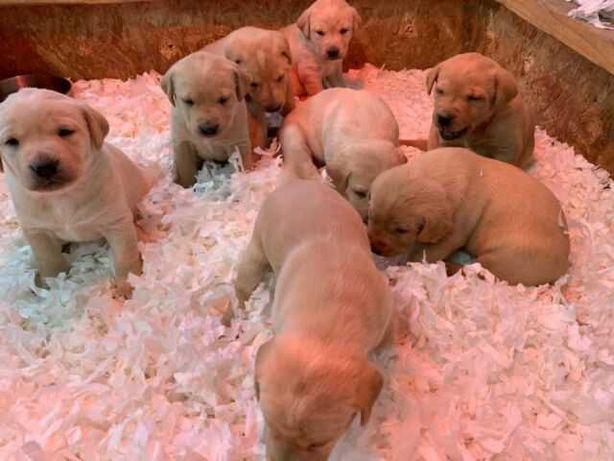 Labrador retriever aurii rasa pura 100% asigurăm transport oriunde