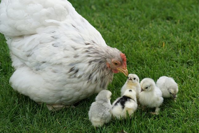Продаю  квочку с цыплятами