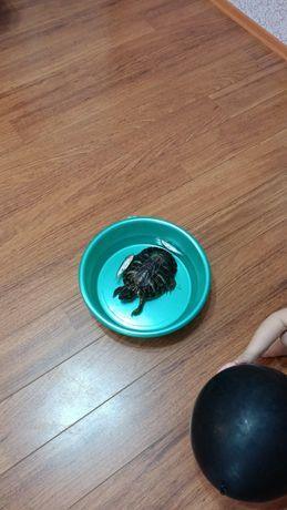 Морская и сухопутная черепаха