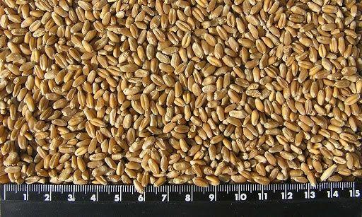 Зерноотходы сухие качественные для откорма скота пшеница ячмень