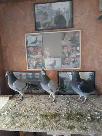 Porumbei maraton