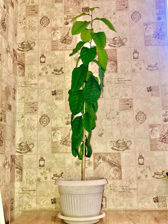 Лимон. Лимонное дерево 85 см