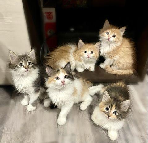 Пушистые сибирские котята