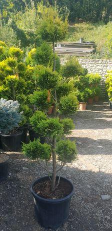 Pon pon si alte specii de plante ornamentale