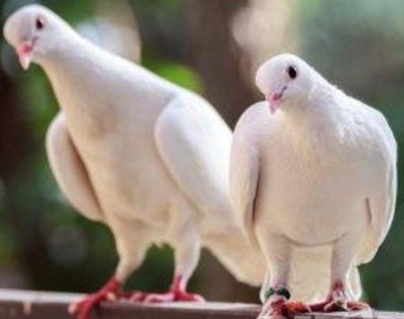 бели гълъби за тържества с. Могилово