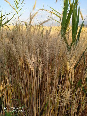 Продам чистую пшеницу