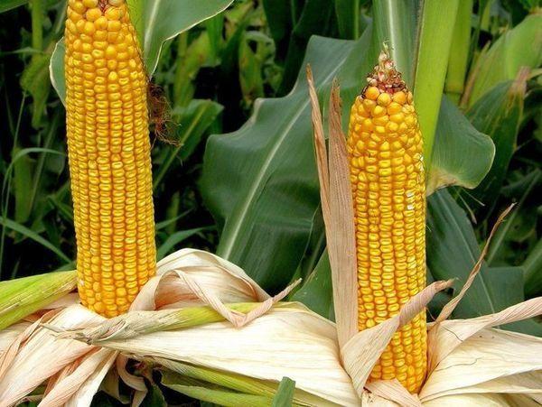 Кукуруза  сорт кубань.