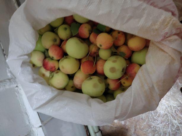 Яблоки дачные только что собраные
