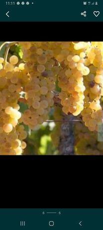 Vand strugurii de vin producție 2021