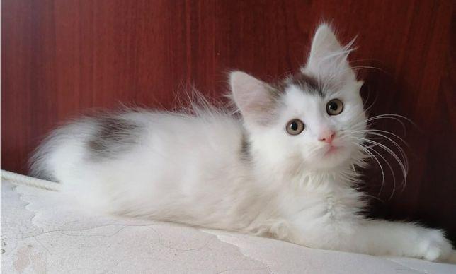 Котенок мальчик, кастрированный!