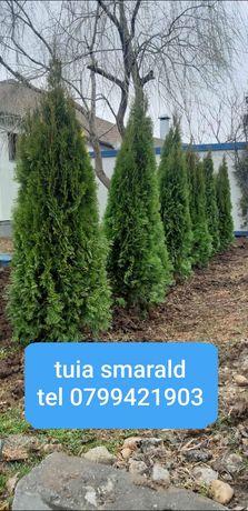 Plante ornamentale și amenajez spații verzi tuia ornamentale și amenaj