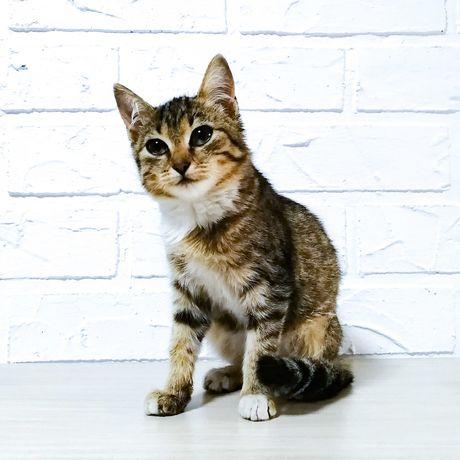 Красивая киса, котенок-девочка, 3 мес в добрые руки