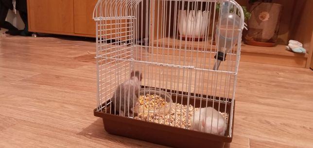 Крысы декоративные ручные