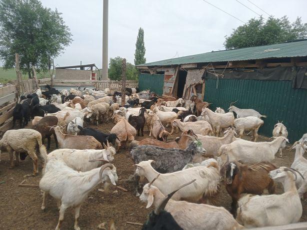 Продам козы  25.000