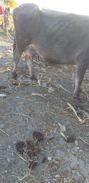 Vaca de vanzare 7 ani