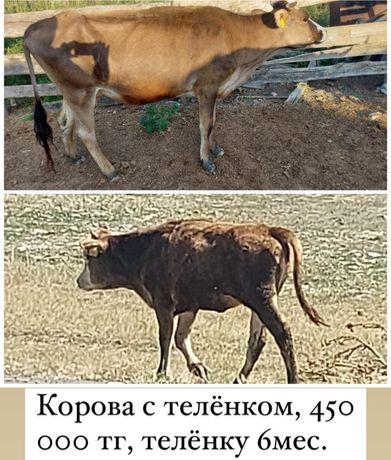 Продаются коровы с телятами