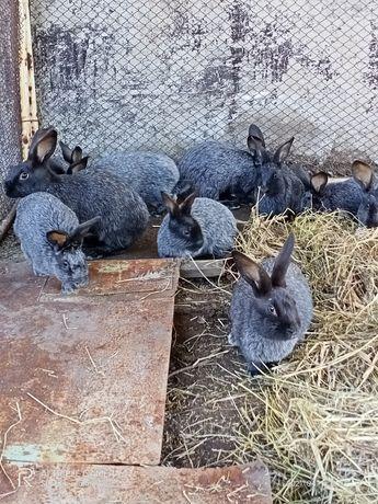 Кролики  самцы .