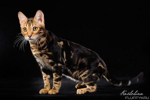 Красота неземная,нереальная бенгальских кошек